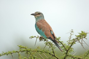 """'Nother European Roller. What """"makes"""" this shot is the awesome acacia tree he's perched in. EOS 1D with 500mm f4. Click to enlarge."""