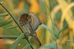The Thick-billed Weaver is less colourful than its cousins, but no less of a master craftsbird. I watched a pair weaving their future home together. EOS 1D with 500mm f4 and 1.4x TC. Click to enlarge.