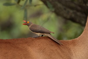 Red-billed Oxpecker on Impala. A very classic shot. EOS 1D with 500mm f4. Click to enlarge
