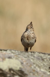 A crested lark posing for the photographer.