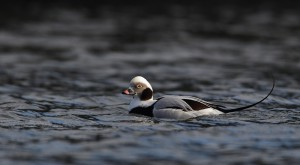 This long-tailed duck was a bonus. Nice looking bird in its winter finery.