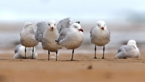 Character bird in Tarifa is the very rare Audouins Gull, which is more than elusive elsewhere. I was pleased to spend some hours with these handsome gulls.