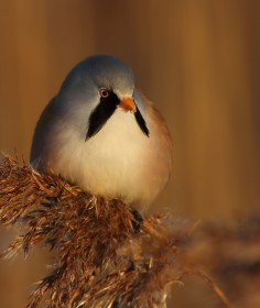 A truly sedentary species, the bearded tits are insectivores in summer, and eat the seeds from reeds (rhyme alert) in winter.